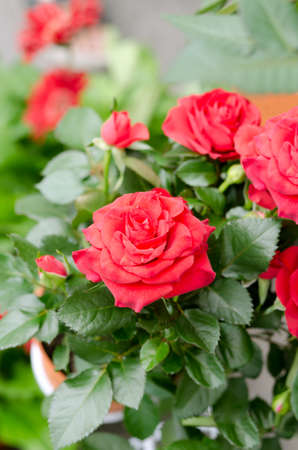 a bunch of red roses in the garden