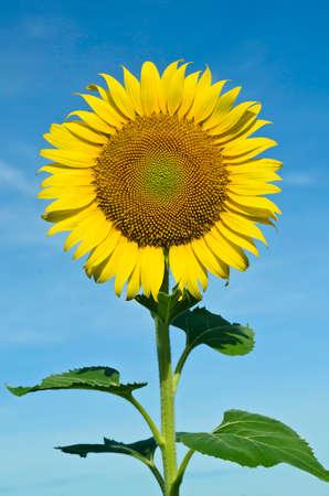 Sunflower with blue sky