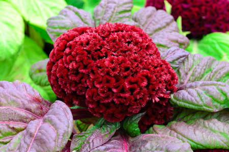Red Cockscomb, Celosia Cristata Stock Photo