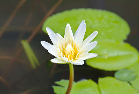 White llotus in the pond Stock Photo
