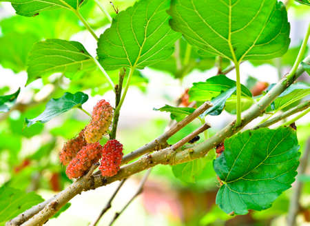 Ripe mulberry on  branches