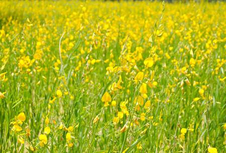 Crotalaria juncea flower field