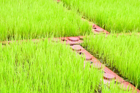 agriculturalist: green paddy field in Thailand Stock Photo