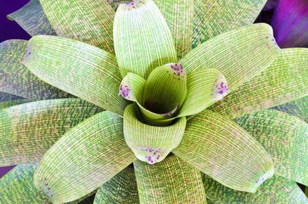 colorful foliage on bromeliad plant Stock Photo