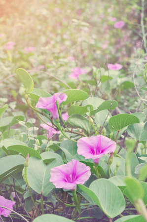 soft diffused light: Soft focus  beach morning glory flowers with sunbeams in spring