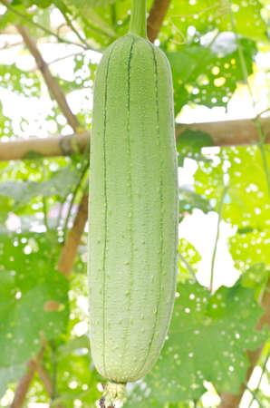 cylindrica: Smooth Loofah or Luffa cylindrica