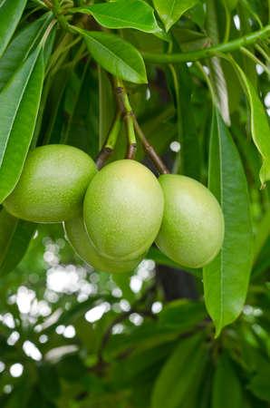 tree with leaves: Cerbera oddloam fruit on tree Stock Photo