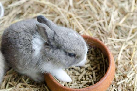 hayloft: gray rabbit on hayloft eating food Stock Photo