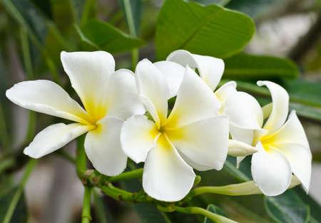 blomming: White Plumeria flower blomming in garden