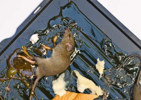 resistol: ratas en ratas trampa de pegamento