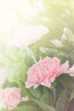 lowers: Soft focus pink Carnation lowers Stock Photo