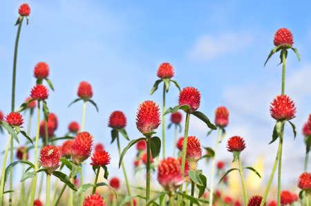globosa: Red Gomphrena globosa flowers in the field