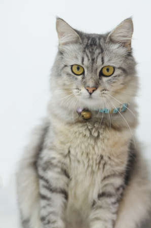 Tabby Persian cat on a light gray background