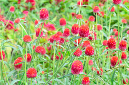 Red Gomphrena globosa flowers in the field
