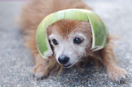 Cute dog wearing pomelo hat Stock Photo