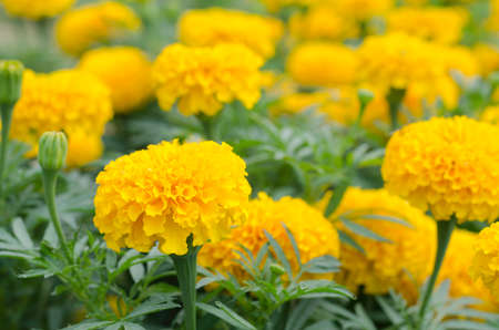 A flower bed of yellow blooming marigolds growing in the garden Stock Photo