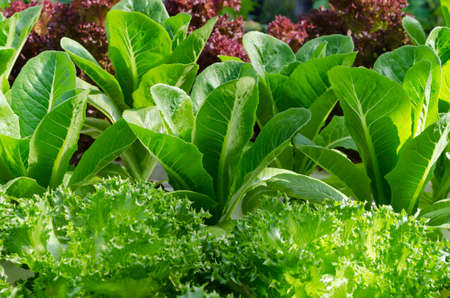 Lettuce and cabbage plants on a vegetable garden ground