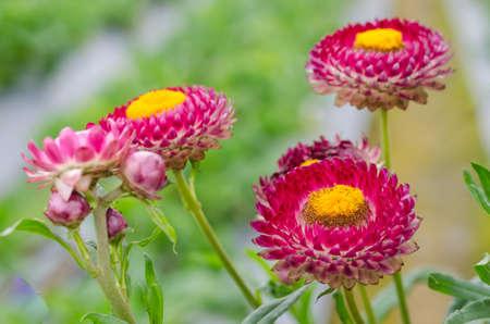 Beautiful soft focus straw flower in garden