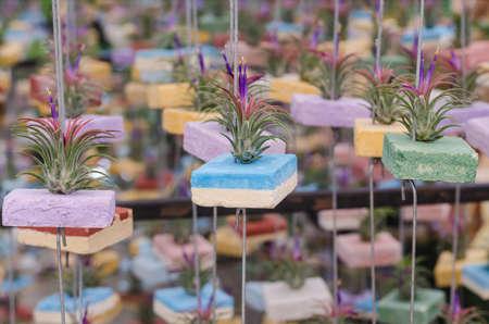 tillandsia air plant for garden decoration
