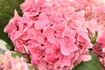 Pink Hydrangea Flowers blooming in garden with soft light