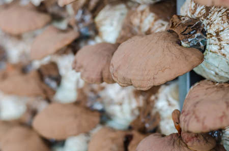 Lingzhi mushrooms (Ganoderma Lucidum) growth in mushroom farm