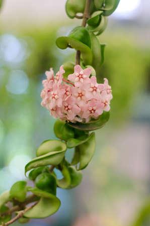 Soft fucus of pink blooming Hoya Carnosa