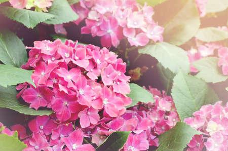 Soft focus of pink Hydrangea Flowers Stock Photo