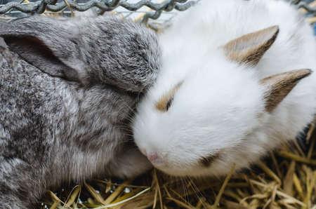 Cute gray rabbit are kissing white rabbit