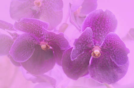 soft focus of purple vanda orchids