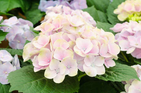 Soft focus of beautiful  Hydrangeas flowers