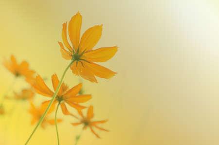 Soft focus of Cosmos Sulphureus over yellow background Stock Photo