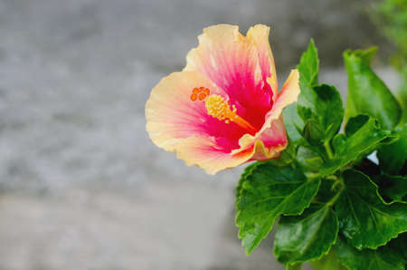 Yellow and Pink Hibiscus Flower in garden Stock Photo