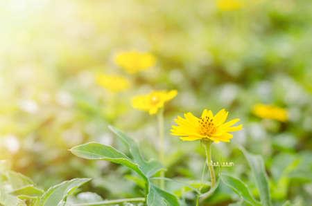 Fuoco molle di piccoli fiori gialli della stella sul raggio di sole Archivio Fotografico