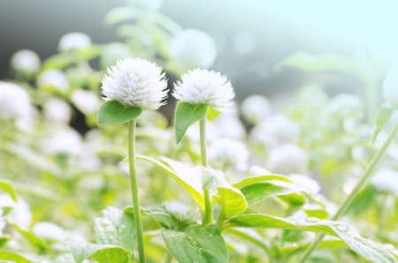 White Globe Amaranth Bachelor Button flower in garden