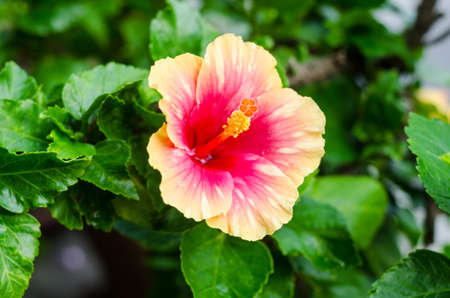 Blooming Yellow and Pink Hibiscus Flower in garden