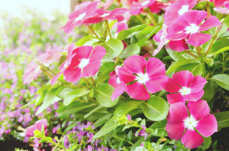 Soft focus of  Pink periwinkle flower with sunray in garden