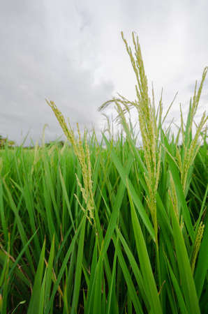 Paddy or unmilled rice, with blur background. Stock Photo