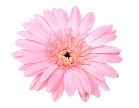 Bellissimo fiore di gerbera rosa isolato su sfondo bianco