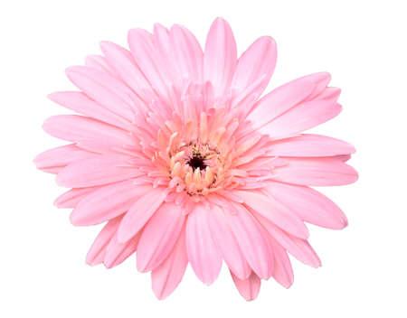 Piękny różowy kwiat gerbery na białym tle