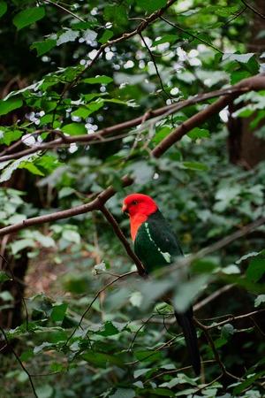 Perroquet à tête rouge vif reposant dans des arbres verts épais et luxuriants