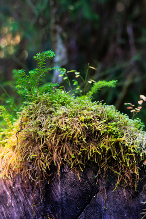 Thick vibrant moss growing on a log in the dense green rainforest