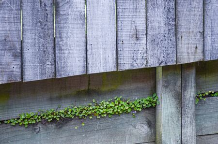 Green plant growth inside cracks of gray wooden fence Stock fotó