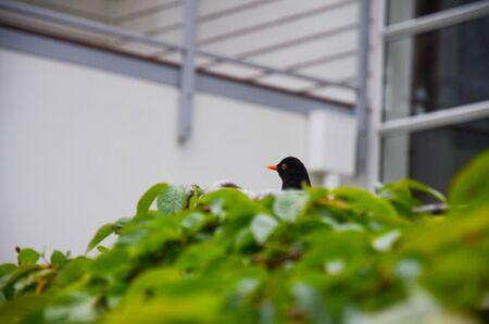 Black bird sitting in green bush with house behind in garden