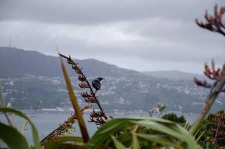 Tui bird perched on plants looking at wellington city from mount victoria