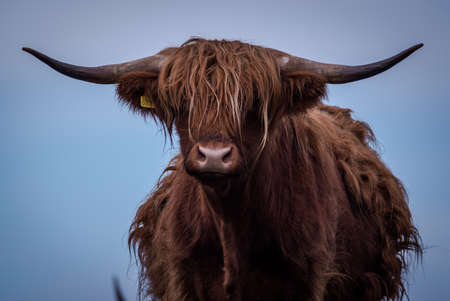 isolated figure of a Highland Cow looking at the camera.