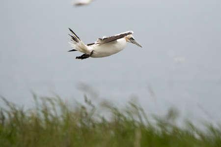 A gannet flies over Bempton Cliffs, Bridlington, East Yorkshire