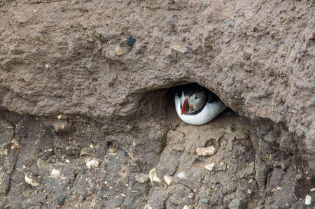 A puffin shelters in its hole in the side of a cliff, Bempton Cliffs, Bridlington, East Yorkshire 写真素材