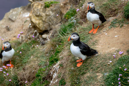 A puffin perched on a grassy cliff overlooking the sea, at Bempton Cliffs, Bridlington, East Yorkshire.