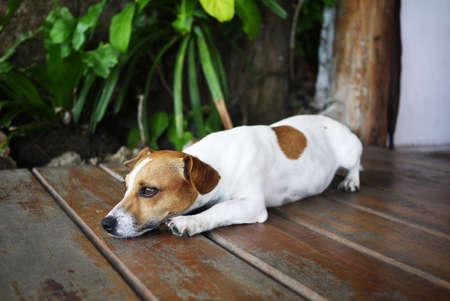 The sleepy dog is laying on the floor. photo