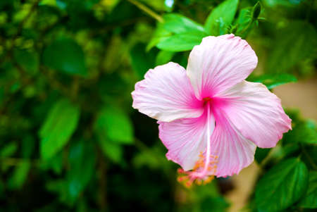 Hibiscus flower closeup photo